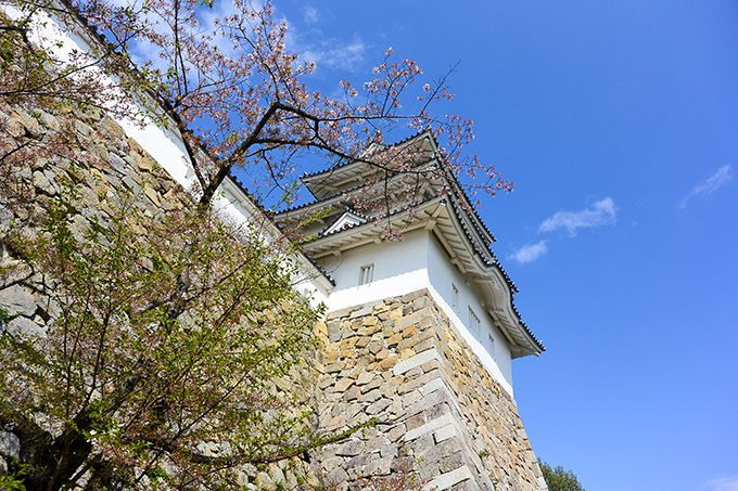 明石公園桜3