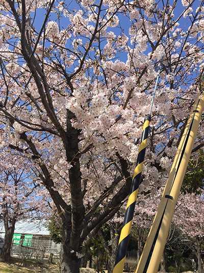 初めての明石の桜(chinen)2