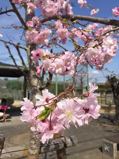初めての明石の桜(chinen)1