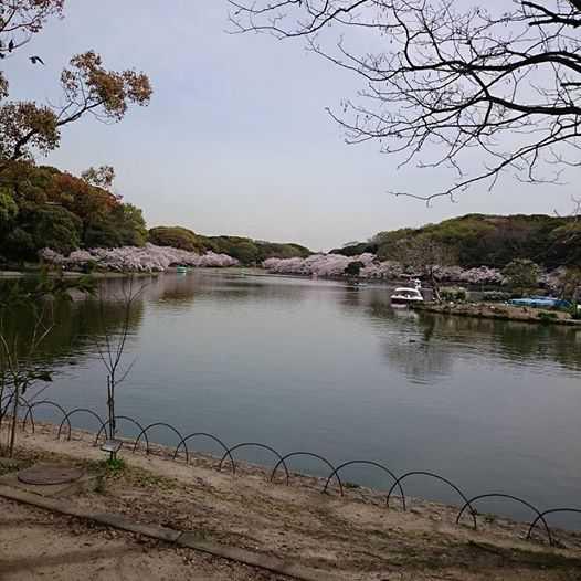 明石公園の桜(anego)1