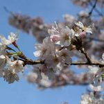 桜(なっちゃん)