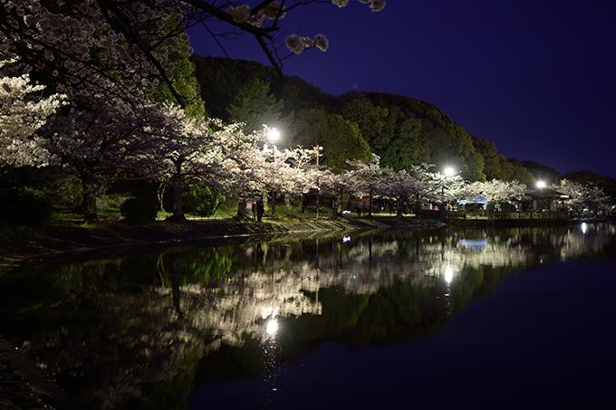 明石公園の夜桜(めぐぱぱ)3