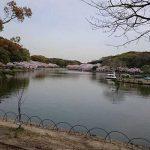 明石公園の桜(anego)