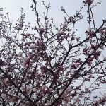 桜サムネイル