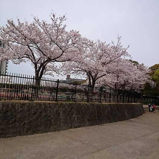明石公園の桜(anego)2