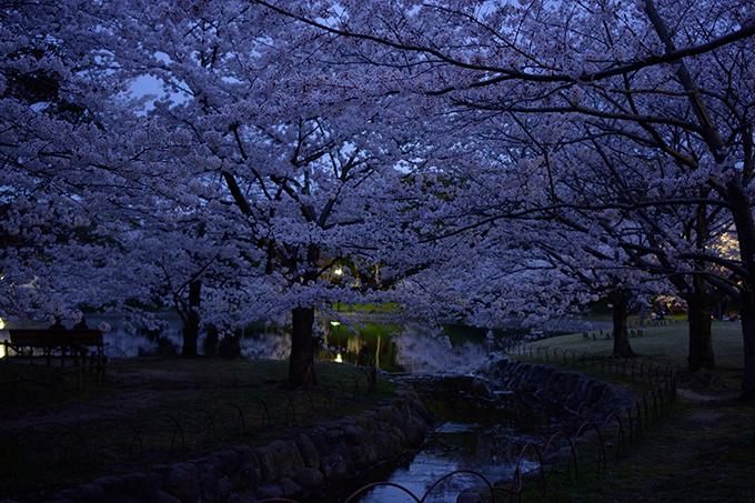 明石公園の夜桜(めぐぱぱ)2