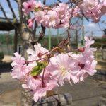 初めての明石の桜(chinen)