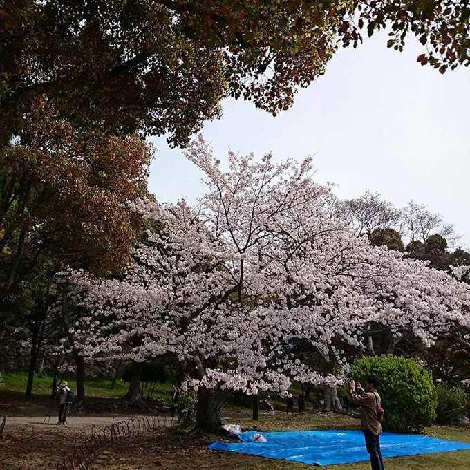 明石公園の桜(anego)4