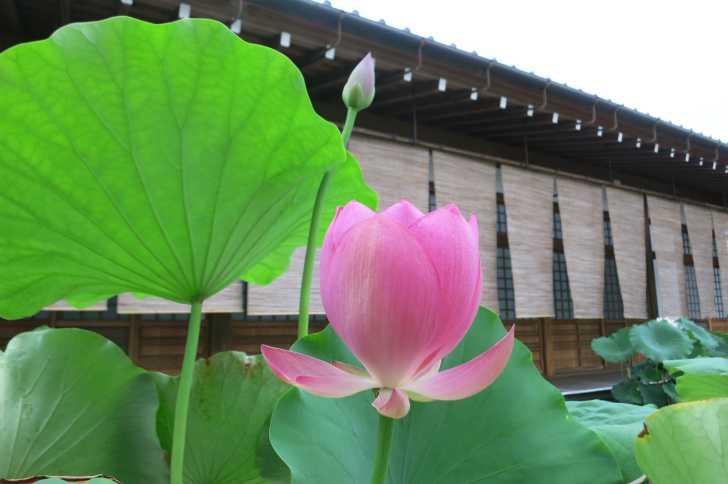 長徳禅寺のハス(はりる)1