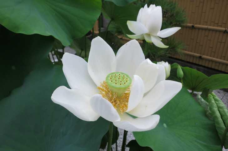 長徳禅寺のハス(はりる)2
